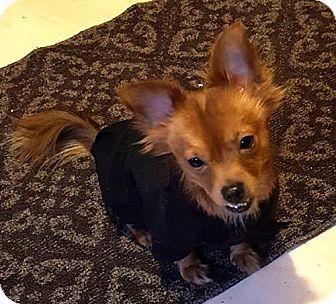 Pomeranian/Chihuahua Mix Dog for adoption in Westmont, Illinois - ROMAN