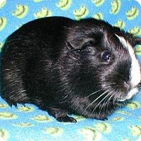 Adopt A Pet :: Oxy - Steger, IL