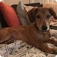 Adopt A Pet :: Bailey Irish Cream - Alpharetta, GA