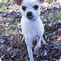 Chihuahua Mix Dog for adoption in Scranton, Pennsylvania - Pepe