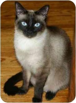 Siamese Cat for adoption in Etobicoke, Ontario - Little Boy