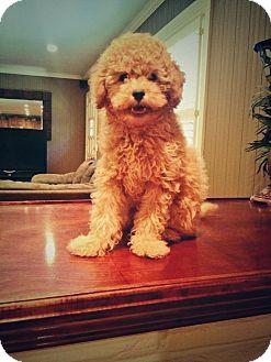 Maltese/Poodle (Miniature) Mix Puppy for adoption in Wytheville, Virginia - Waylon