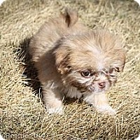 Adopt A Pet :: Teek - Broomfield, CO