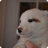 Adopt A Pet :: Bentley - Westminster, CO