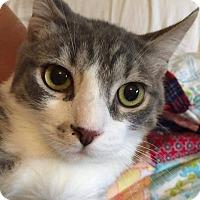 Adopt A Pet :: Blynken - Putnam, CT