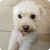Adopt A Pet :: Polo - Troy, MI