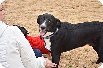 Border Collie/Labrador Retriever Mix Dog for adoption in Brattleboro, Vermont - Buddy
