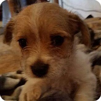 Maltese/Chihuahua Mix Puppy for adoption in springtown, Texas - Sebastian