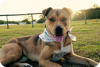 German Shepherd Dog/Shar Pei Mix Dog for adoption in Williston, Florida - Gretchen