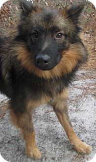 Australian Shepherd Mix Dog for adoption in Forked River, New Jersey - Gremmy