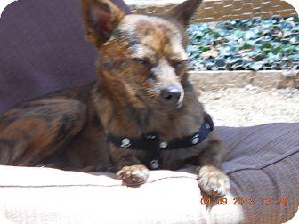 Chihuahua/Miniature Pinscher Mix Dog for adoption in Charlotte, North Carolina - Benson