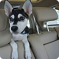 Adopt A Pet :: Bear - Temple City, CA