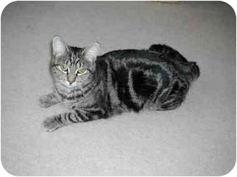 Domestic Shorthair Cat for adoption in Toronto, Ontario - Dawn