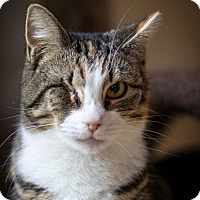 Domestic Shorthair Cat for adoption in Middletown, New York - Almond
