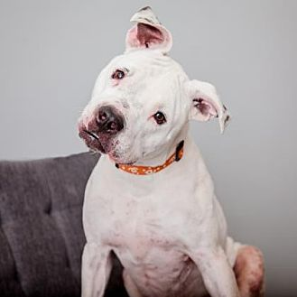 American Staffordshire Terrier Mix Dog for adoption in Mission Hills, California - Chico