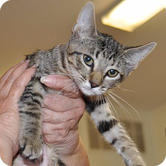 Domestic Shorthair Kitten for adoption in Sunrise Beach, Missouri - Ashley