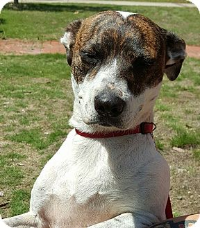 Jack Russell Terrier/Pointer Mix Dog for adoption in Southbury, Connecticut - Mia