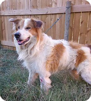 Golden Retriever/Collie Mix Dog for adoption in Westport, Connecticut - Duke PENDING