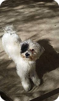 Havanese/Terrier (Unknown Type, Small) Mix Puppy for adoption in Fountain Valley, California - Pookie