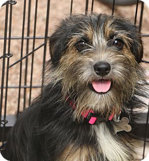 Terrier (Unknown Type, Small) Mix Dog for adoption in Bedminster, New Jersey - Spice and Sugar