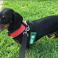 Dachshund Dog for adoption in Pearland, Texas - Dirks