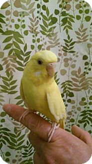 Parakeet - Other for adoption in Lombard, Illinois - Daffodil