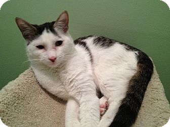 Domestic Shorthair Cat for adoption in East Hanover, New Jersey - Andy