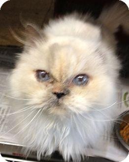 Himalayan Cat for adoption in Davis, California - Dolly
