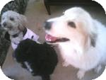 Great Pyrenees/Golden Retriever Mix Dog for adoption in New Canaan, Connecticut - Hope
