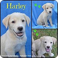 Adopt A Pet :: Harley - Plano, TX