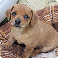 Adopt A Pet :: Puppy - San Jose, CA