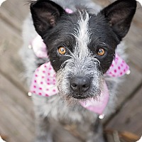 Adopt A Pet :: Precious Girl - Houston, TX