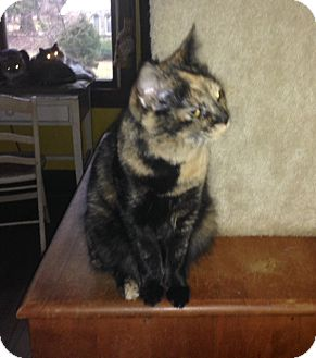 Domestic Shorthair Cat for adoption in Covington, Kentucky - Penny