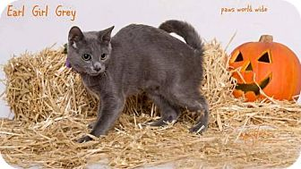 Russian Blue Kitten for adoption in Corona, California - EARL GIRL GREY