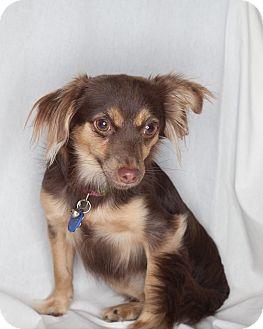 Spaniel (Unknown Type)/Papillon Mix Puppy for adoption in Santa Monica, California - Lila
