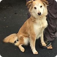 Adopt A Pet :: Brownie - Harrisonburg, VA