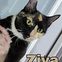 Adopt A Pet :: Ziva - Island Heights, NJ