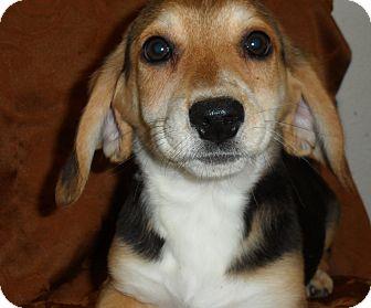 Beagle/Flat-Coated Retriever Mix Puppy for adoption in Seattle, Washington - Myrrh
