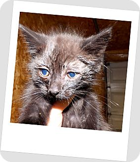 Domestic Shorthair Kitten for adoption in Owosso, Michigan - Spooky
