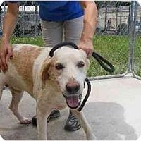 Adopt A Pet :: Lenny - Alexandria, VA