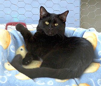 Domestic Shorthair Cat for adoption in St Louis, Missouri - Nemo