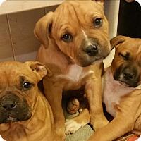 Adopt A Pet :: Pup - grants pass, OR