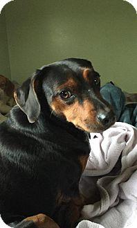 Dachshund/Miniature Pinscher Mix Dog for adoption in Rexford, New York - Moe
