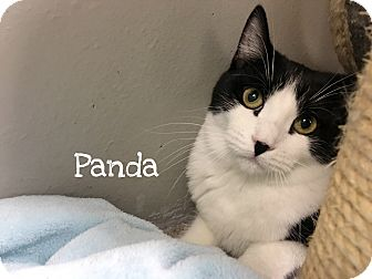 Domestic Shorthair Cat for adoption in Foothill Ranch, California - Panda
