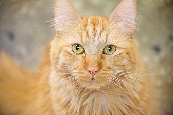 Domestic Mediumhair Cat for adoption in North Hollywood, California - Kennedy