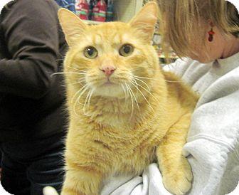 Domestic Shorthair Cat for adoption in Overland Park, Kansas - Buddy