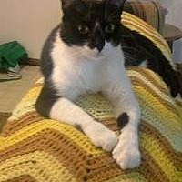 Adopt A Pet :: Kitty - Sedalia, MO