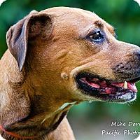 Adopt A Pet :: Meg - Westminster, CA