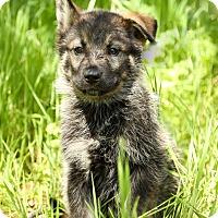 Adopt A Pet :: Ranger - Auburn, CA