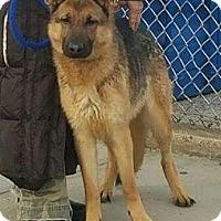 Adopt A Pet :: Shelby - Bronx, NY